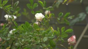 Large bush with flowering white-pink roses for vertical landscaping. during the rain. 4k, slow motion stock video footage