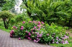 Large bush of hydrangea Royalty Free Stock Photo
