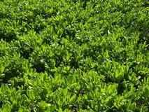Large bush of Naupaka Kahakai Stock Photos