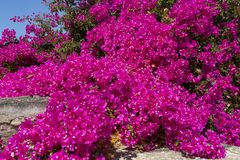 Free Large Bush Of Blooming Bougainvillea Stock Photos - 129294253