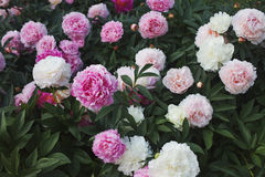 Large Bush of peonies in the garden, growing flowers Stock Image