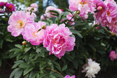 Large Bush of peonies in the garden, growing flowers Royalty Free Stock Photos
