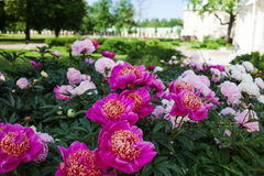 Large Bush of peonies in the garden, growing flowers Stock Photos