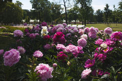 Large Bush of peonies in the garden, growing flowers Stock Images