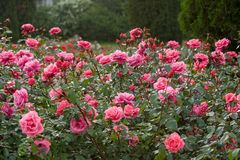 A large bush of pink roses in the rain.  Selective focus. royalty free stock photos