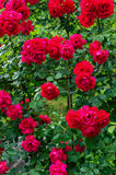 A large bush of red roses. Floral background. Royalty Free Stock Photo