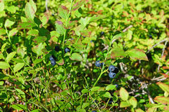 A large Bush of ripe bilberry close up under sunlight Stock Photography