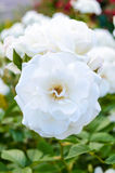 A large bush of white roses on a background of nature. Many flowers on the stem. Royalty Free Stock Image
