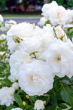 A large bush of white roses on a background of nature. Many flowers on the stem Stock Photos
