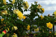 Large bush of yellow roses against the blue sky and delicate white clouds. In the city parknn royalty free stock photo