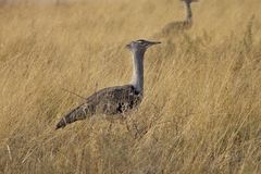 Large Bustard, Ardeotis kori,in the Etosha National Park, Namibia Royalty Free Stock Photo