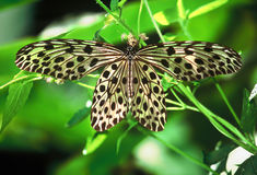 Large butterfly of Borneo Royalty Free Stock Photo
