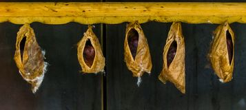 Large butterfly cocoons of a tropical specie, insects undergoing metamorphosis stock photography