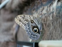 A large butterfly with a coloring similar to the eye of an owl, with folded wings. Tropics Exotic Butterfly Eyes. Owl Butterfly. C