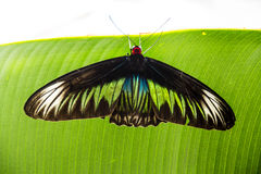 A large butterfly resting on the edge of the leaf. Stock Photo
