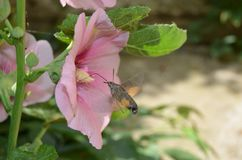Butterfly drinks nectar in a pink flower mallow on a sunny day stock photos