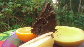 A large butterfly with spots and dots standing on some fruit. With a pattern large butterfly standing some fruit including mango pear and orange brightly colored royalty free stock photos