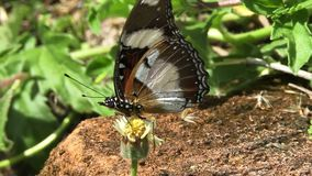 Large butterfly in Ukraine. Large butterfly feeding on nectar in the Ukraine stock video