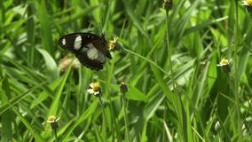 Large butterfly in Ukraine. Large butterfly feeding on nectar in the Ukraine stock video footage