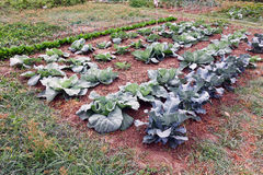 Large Cabbage Patch Royalty Free Stock Photography