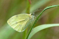 Large Cabbage White Royalty Free Stock Images