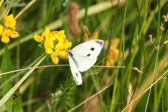 Large White butterfly Pieris Brassicae royalty free stock photos