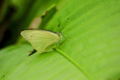 Yellow butterfly on leaf in nature royalty free stock photos