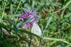 Large cabbage white butterfly on a thistle flower, Germany.  royalty free stock image