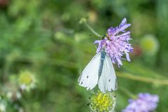 Large cabbage white butterfly on a thistle flower, Germany.  stock image