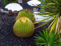 Large cacti in a hotel flower bed in Tennerife. Planted in a volcanic rock substrate and relieved with white painted rocks. Large cacti cultivated in a hotel Royalty Free Stock Photo