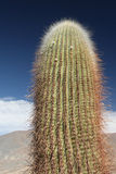 Large cactus. Can be seen all over the Americas, this one is taken in the Argentinian Andes, near Chili and Bolivia Stock Photography