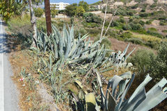 Large cactus Stock Photo