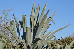 Large cactus Royalty Free Stock Photo