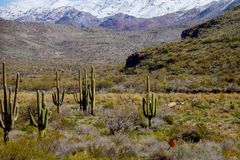 A large, cactus out in a valley filled with cactus in the desert mountains are covered in snow. A large, cactus out in a filled with cactus in the desert royalty free stock image