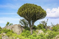 Large cactus tree surrounded by green foliage and rocks in africa stock image