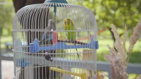 The big cage of two cute parrots standing outdoors. Little green and blue birds in the garden. Camera moving closer. The large cage of two cute parrots standing stock video