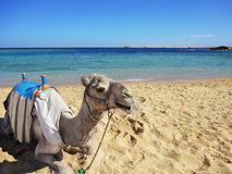 Large camel sitting on the beach, Egypt, Sahara desert Royalty Free Stock Photos