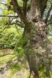 Large camphor tree base Royalty Free Stock Images