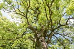 Large camphor tree Stock Photo
