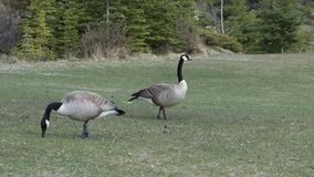Large canadian geese at banff national park stock video footage