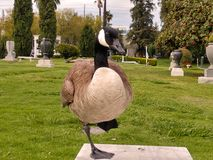 Large Canadian Goose stands on one leg bench in park stock photo