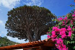 Canary islands dragon tree with red flowers in foreground stock images