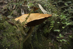 Large Cap Toadstool Stock Images