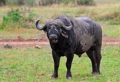 A large Cape Buffalo stands alone on the open African plains Royalty Free Stock Photo