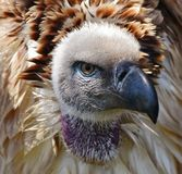 Large Cape vulture Stock Image