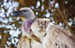 Large Cape vulture Royalty Free Stock Photo