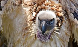 Large Cape vulture Royalty Free Stock Photography