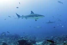 Large caribbean reef shark, roatan, honduras Stock Image