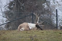 Large caribou with impressive antlers at the zoo royalty free stock photography