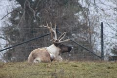 Large caribou with impressive antlers at the zoo. In Toronto Royalty Free Stock Photo